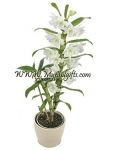 The Dendrobium